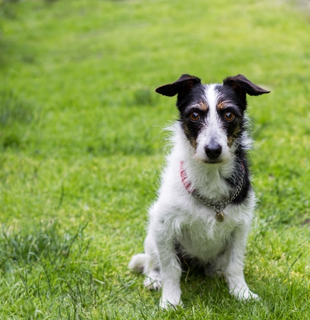 looking for love: Jack Russell terrier cross dog sitting obediently on grass. Mans best friend. Copy space.