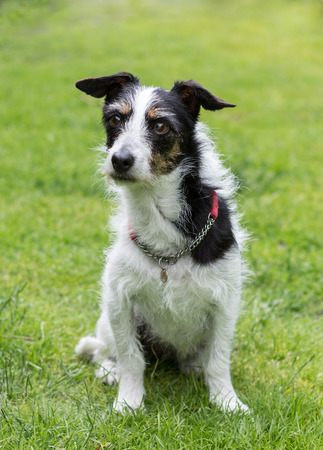 man's best friend: Jack Russell terrier cross dog sitting on lawn looking curiously at something in the distance.. Stock Photo