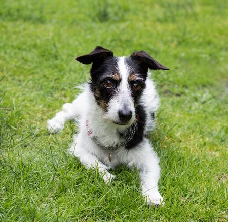 man's best friend: Jack Russell terrier cross dog lying down on a lawn looking away