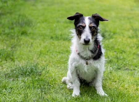 mans best friend: Jack Russell terrier cross dog staring into eyes. Space for text.