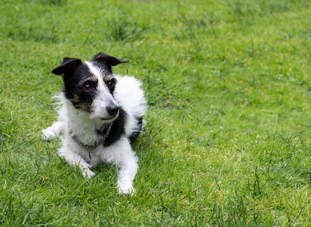 mans best friend: Jack Russell terrier cross dog lying down looking into the distance at something. Copy space.