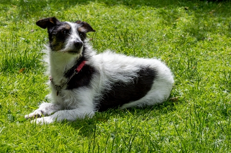 sniffing: Jack Russell terrier cross dog lying on grass looking over shoulder sniffing the air. Stock Photo