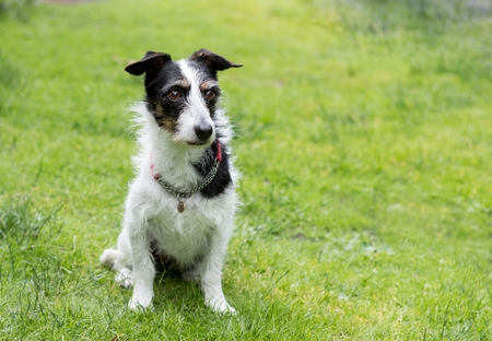 mans best friend: Jack Russell terrier cross dog sitting on lawn. Space for text.