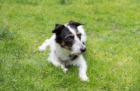 mans best friend: Jack Russell terrier cross dog looking at something in the distance.