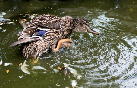 duck feet: Female mallard duck splashing in a pond to clean feathers.