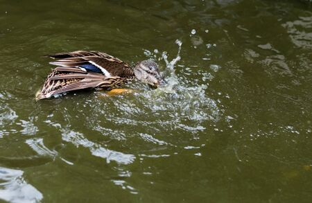 frolicking: Female mallard duck splashing in a pond to clean feathers.