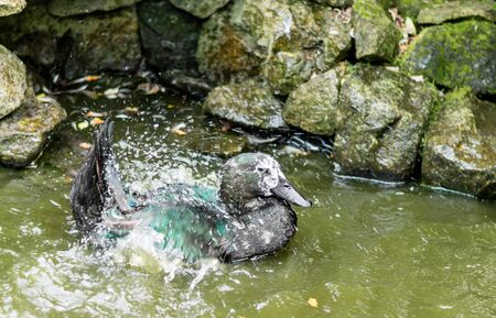 frolicking: Old black and grey Cayuga duck splashing in a pond to clean plumage. Stock Photo