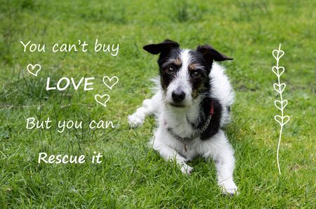 laying forward: Inspirational quote with cute Jack Russell terrier cross dog. You cant buy love but you can rescue it. Stock Photo