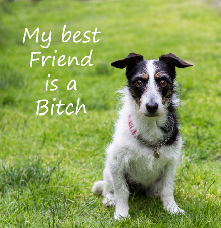 bitch: Quote with cute Jack Russell terrier cross dog. Text reads My best friend is a bitch.
