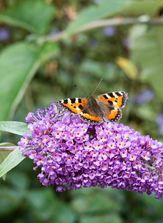 tortoiseshell: Small Tortoiseshell butterfly (Aglais urticae) feeding on Buddleia flower (also known as Butterfly bush, orange eye and summer lilac)