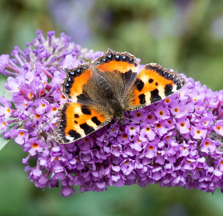 Small Tortoiseshell butterfly (Aglais urticae) feeding on Buddleia flower (also known as Butterfly bush, orange eye and summer lilac)