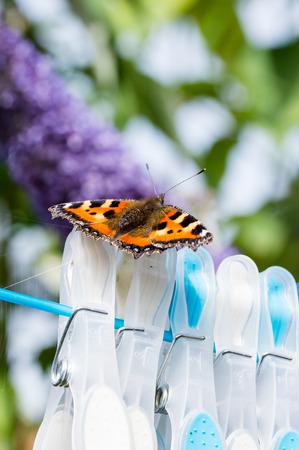 Small Tortoiseshell butterfly (Aglais urticae) resting on clothes pegs on a washing line. Stock Photo