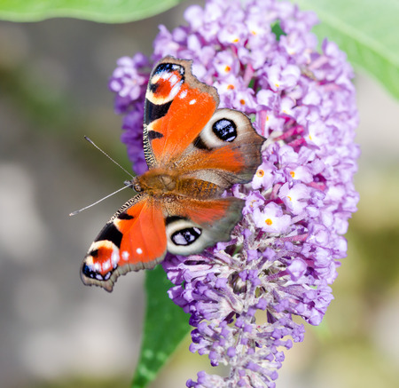 European Peacock butterfly (Aglais io) feeding on Buddleia flower (also known as Butterfly bush, orange eye and summer lilac)