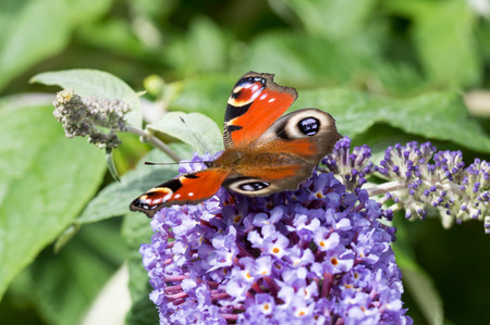 inachis: European Peacock butterfly (Aglais io) feeding on Buddleia flower (also known as Butterfly bush, orange eye and summer lilac)