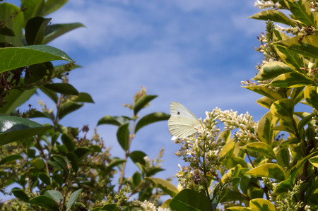 pieris: Foliage and sky background with a Small White butterfly (Pieris rapae)