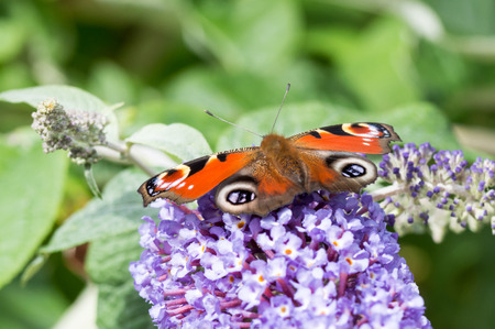 peacock butterfly: European Peacock butterfly (Aglais io) feeding on Buddleia flower (also known as Butterfly bush, orange eye and summer lilac)
