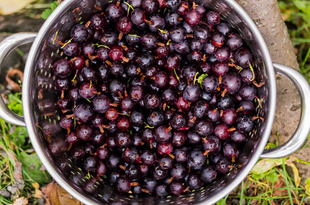 head close up: Black Gooseberries freshly picked from the bush in a stainless steel colander. Summer fruit harvest. Over head close up.