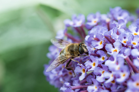 British Hoverfly feeding on a Buddleia flower. Also known as Flower Flies in America. There are over 270 species in the UK, many are beneficial to gardeners as the larvae feed on pests such as aphids. They are true flies with two wings, resembling bees or