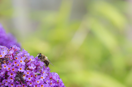 nectaring: British Hoverfly feeding on a Buddleia flower. Also known as Flower Flies in America. There are over 270 species in the UK, many are beneficial to gardeners as the larvae feed on pests such as aphids. They are true flies with two wings, resembling bees or