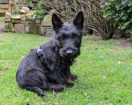 Scottish terrier puppy dog sitting in a back yard garden looking forward. Stock Photo