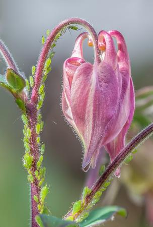 piojos: Áfidos en una flor de Aquilegia. La plaga de la mosca verde está chupando el bonito tallo de las flores rosadas. Primer plano de detalle. Foto de archivo