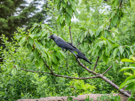 corvus: Two Jackdaws perched on the branch of a Cherry tree in a British garden. Jackdaws (Corvus monedula), are also known as the Eurasian jackdaw, European jackdaw and Western jackdaw.