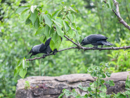 corvus: Jackdaws perched on a Cherry tree, calling noisily while feeding on unripe cherry fruit. Jackdaws (Corvus monedula), are also known as the Eurasian jackdaw, European jackdaw and Western jackdaw. Stock Photo