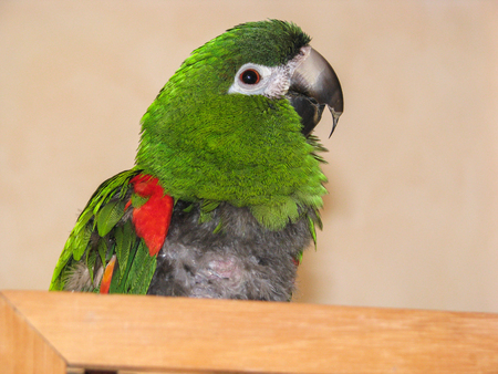 destructive: Hahns macaw parrot with over grown beak and FDB, feather destructive behaviour, on chest. Visible symptoms of active psittacosis also know as parrot flu and chlamydia, due to infection in the liver.