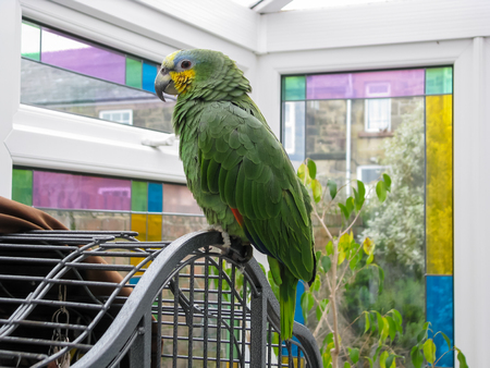 Amazon parrot. Pet bird perched on cage in a sunroom with stained glass windows. Reklamní fotografie