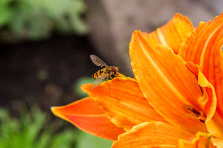Hoverfly on the petals of a beautiful bright orange daylily flower. Copyspace.