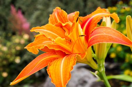 Orange daylily flower fully open. Each beautiful flower lasts just one day. Hemerocallis species. Banco de Imagens
