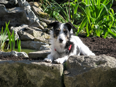 Cute dog in garden looking at camera, lying down with paws on a rock. Black and white Jack Russell Terrier crossbreed in strong sunlight on a summers day. Stock Photo