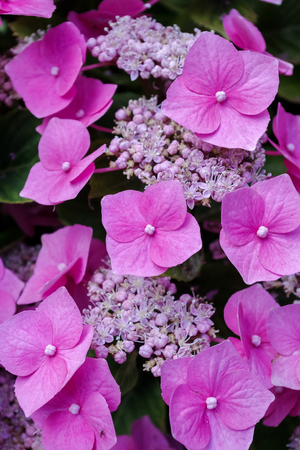 Hydrangea flowers. Close up of pretty pink flowers and sepals. Vertical. Stock Photo