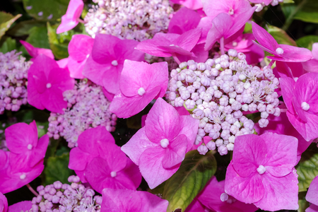 Hydrangea flowers. Close up of pretty pink flowers and sepals. Stock Photo
