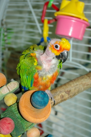 Pet Jenday Conure parrot with plucked head and neck sitting on play perch. Plucking caused by its mate over allopreening. Stock Photo