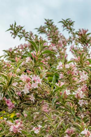 Weigela bush flowering in summer variegated leaves and an stock photo weigela bush flowering in summer variegated leaves and an abundance of pale pink flowers vertical mightylinksfo