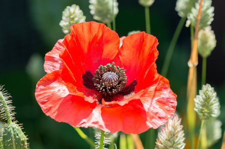 Red poppy flower, Papaver rhoeas. One red flower in a field of canary grass, brightly lit with dark background.