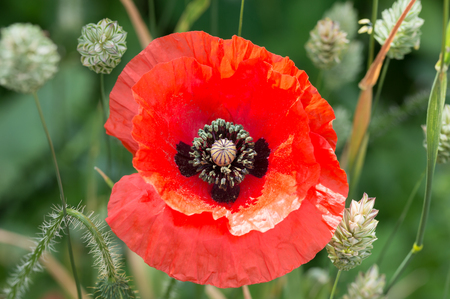 Flanders poppy flower, Papaver rhoeas. One red flower with green canary grass and weeds background.
