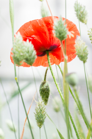 Flanders poppy flower, Papaver rhoeas. One red flower in a field of canary grass. Brightly lit white ethereal background. Selective focus. Vertical. Stock Photo