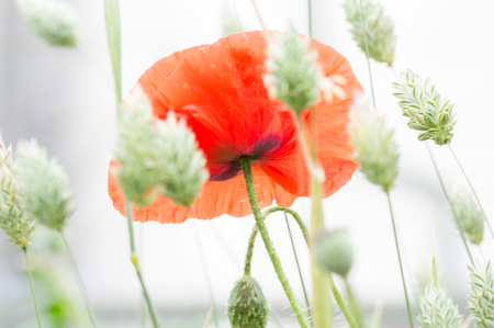 Flanders poppy flower, Papaver rhoeas. One red flower in a field of canary grass. Brightly lit white ethereal background. Selective focus.
