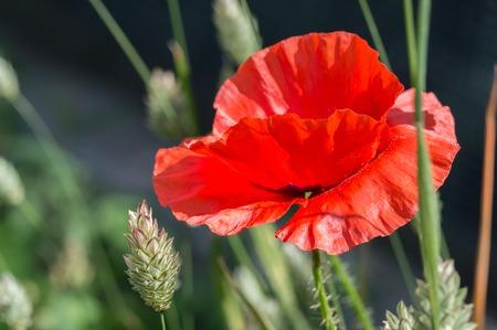 Flanders poppy flower, Papaver rhoeas. One red flower in a field of canary grass. Dark background.