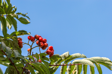 Rowan tree with red berries. Close up of the small tree also called Mountain Ash, Sorbus aucuparia. Blue sky copy space.