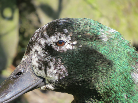 Old pet duck. Close up detail of age related grey feathers on the face of a Cayuga duck. Also showing black feathers with green iridescence. Stock Photo