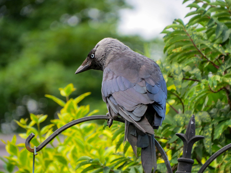 Jackdaw, Corvus monedula. Back view of this crow on a black metal bird feeder in a British garden. Stock Photo