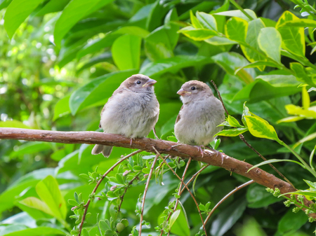 Two cute fledgling baby birds, House Sparrows, common British little brown birds, in Wales, UK. Perched on branch in front of lush greenery. Stock Photo