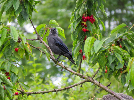 Jackdaw, Corvus monedula, perched in a cherry tree with ripe red fruit in a British garden. Looking forward. Stock Photo