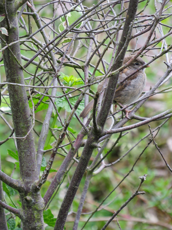 Fledgling House Sparrow camouflaged and well hidden in amongst the bare branches of a bush. Vertical.