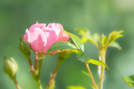 Pretty Polyantha rose, pink flowers The Fairy. A single pink flower with shallow focus in a summer garden with green soft focus background.