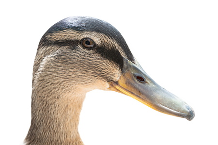 Portrait of female Mallard duck head, anas platyrhynchos. Close up detail, side view, l isolated on white background. Natural sunlight. Stock Photo