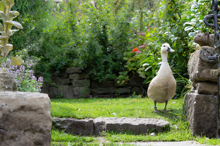 Domestic breed duck, Abacot Ranger, in a Britsh garden in summer. Standing face on. Lots of natural central background copy space.